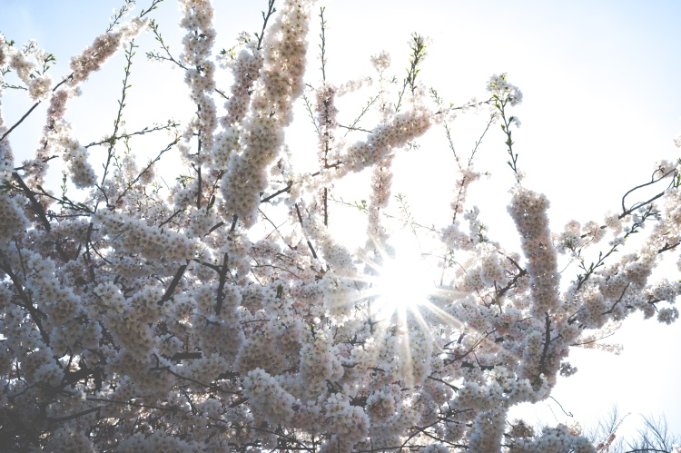 Sunburst through White Cherry Flowers in Central Park
