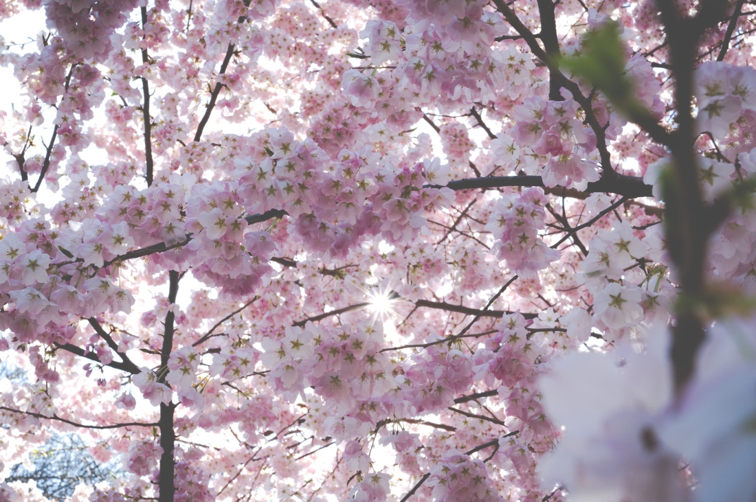 Pink Cherry Flowers in Central Park, Manhattan