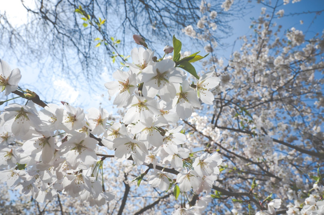 Closeup of white cherry flowers in Central Park NYC
