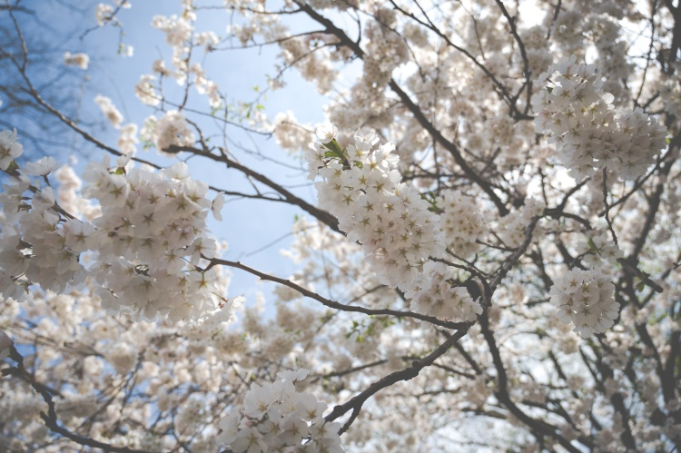 White Cherry Blossoms in Central Park, NYC